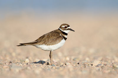 Killdeer in the Road