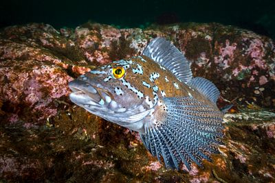 Male Kelp Greenling, Hexagrammos decagrammus, swimming above rocky bottom