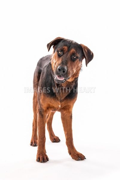 rottweiler looking at camera on white background