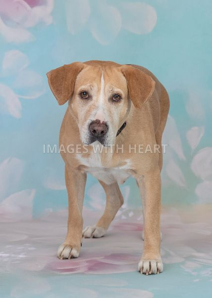 Standing yellow lab on floral background