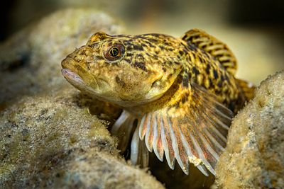 Closeup of a Prickly Sculpin, Cottus asper.