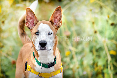 Basenji Mix Dog with Leafy Background and Icy Blue Eyes