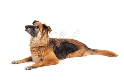 Excited Large Mixed Shepherd Breed Dog Lying Looking Up