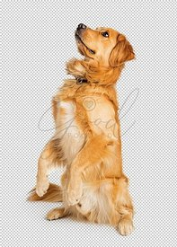 Attentive Golden Retriever Dog Sitting Up
