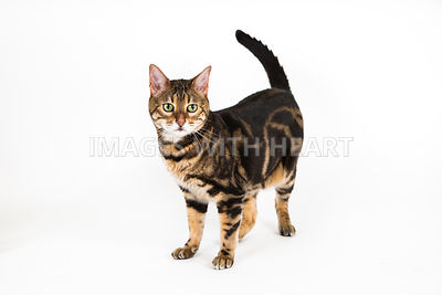 Bengal Cat Full Body Standing on White Background