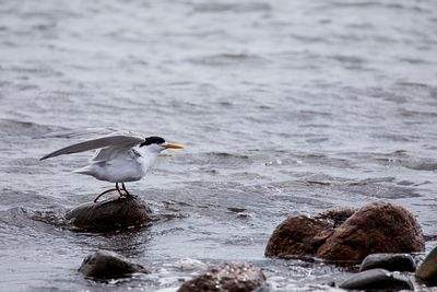 Crested Tern on a rocky shoreline
