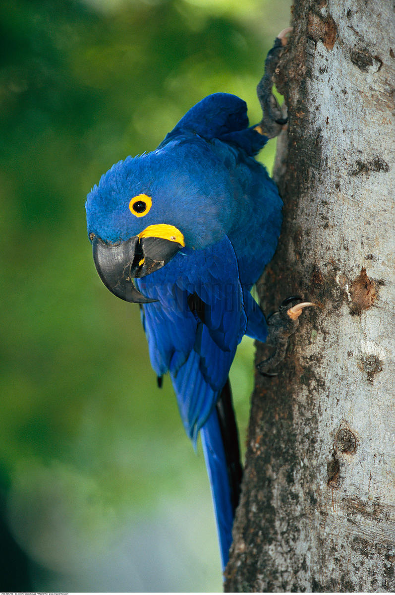 Hyacinth Macaw on Tree
