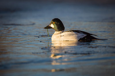 Common Goldeneye in Sweet Light