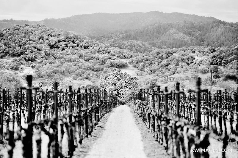 VINEYARD IN SPRING NAPA VALLEY CALIFORNIA BLACK AND WHITE