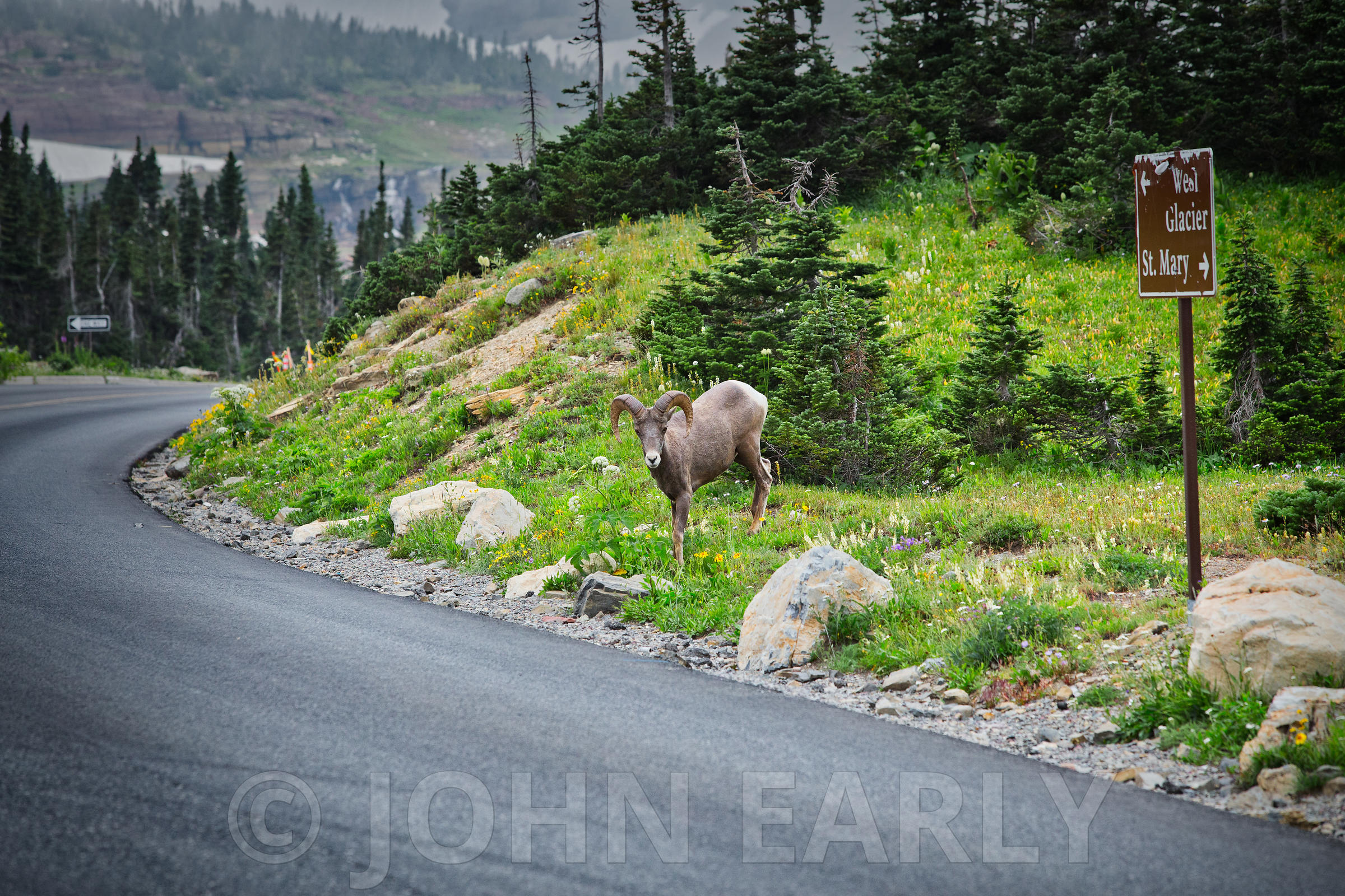 Bighorn Sheep at Logan Pass #1