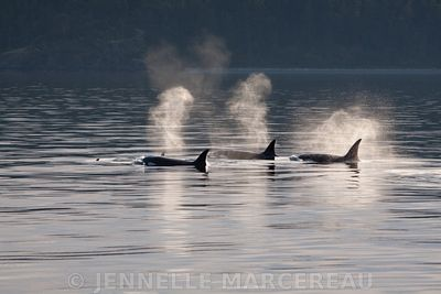 Backlit Orcas