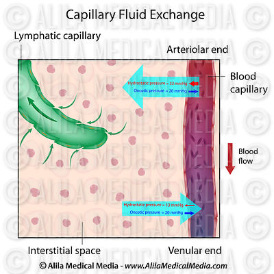 Capillary Fluid Exchange labeled.