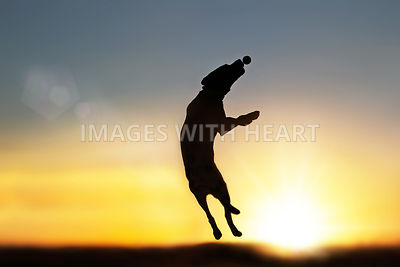 Lab jumping for ball silhouette