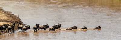 Row of Wildebeest Swimming Across Mara River