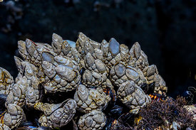 Leaf Barnacles in Olympic National Park