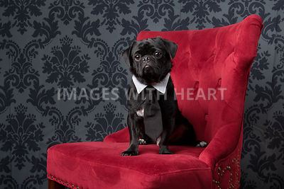 Black dog on red chair