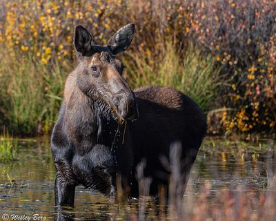 SJM25: A Cow Moose Eating in a Pond