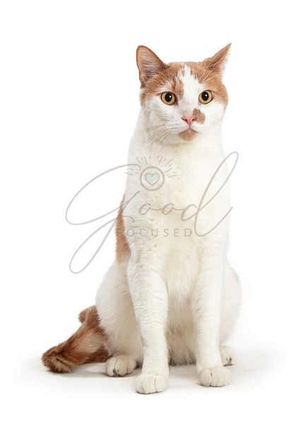 White Cat Orange Markings Isolated Sitting