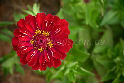 Red Zinnia flower in garden.