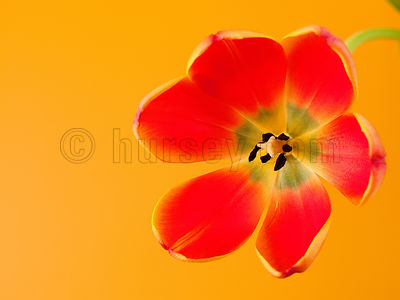 DH_Tulip120909-0013-Edit