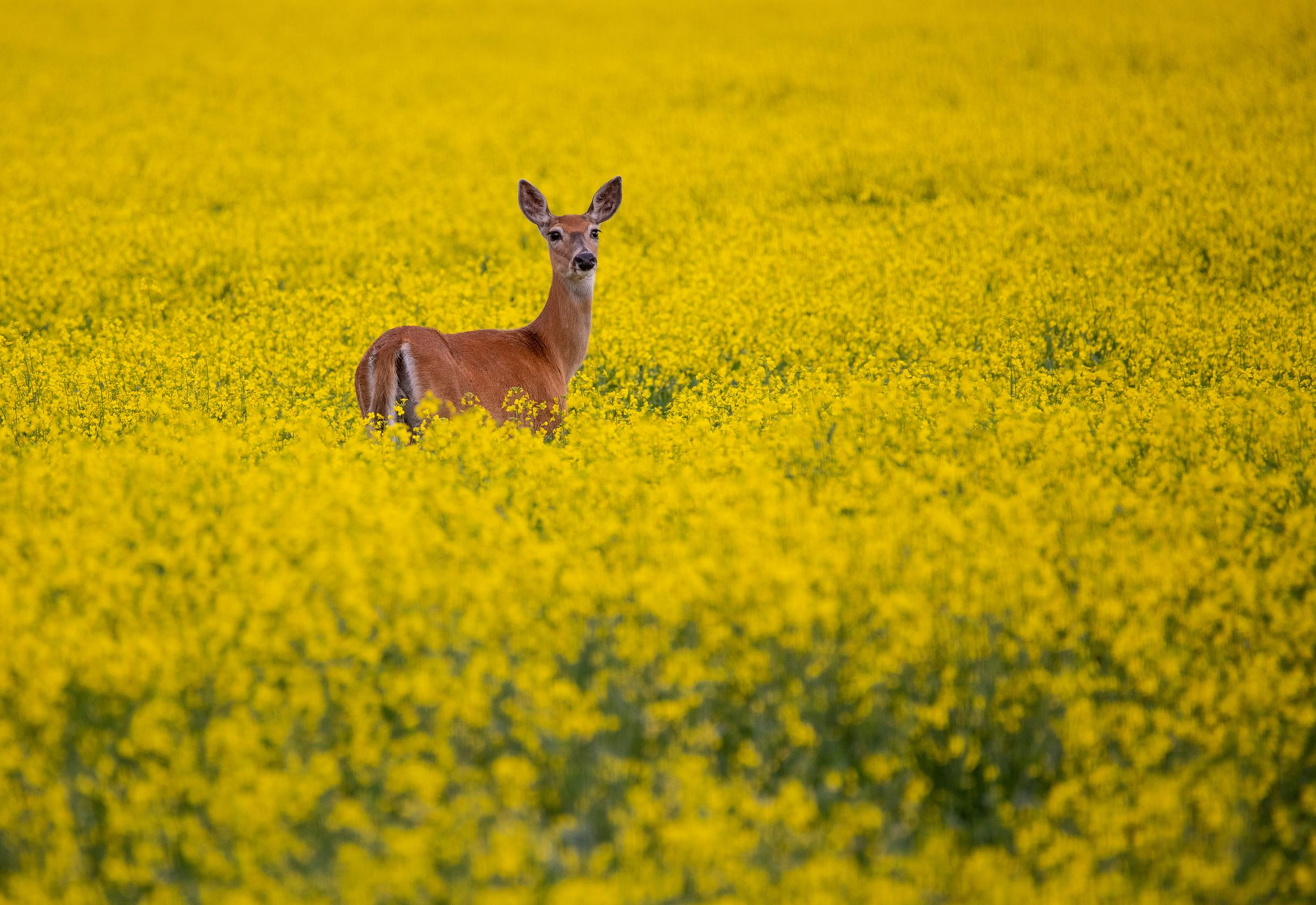 Whitetail in Canola 2