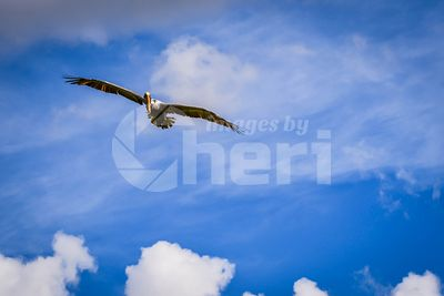 A Brown Pelican flying around in Miami, Florida