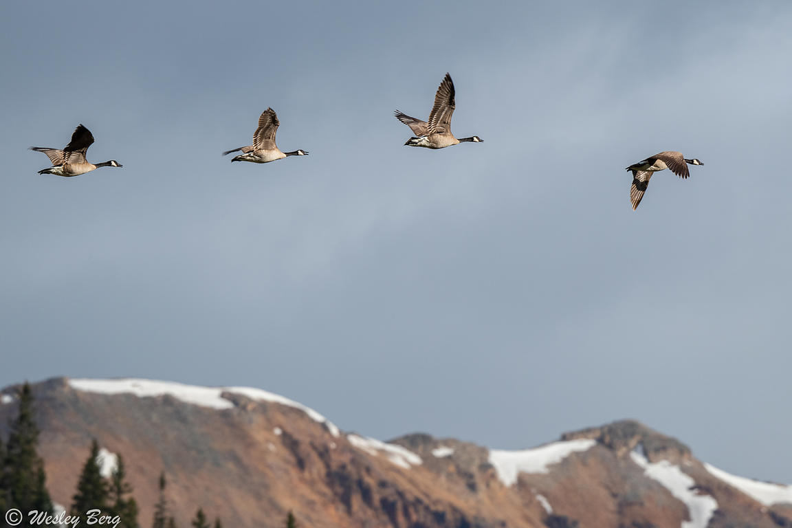 Geese Flying in Front of the Snow-Capped Peaks