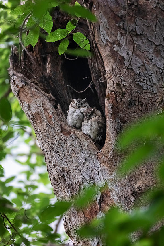 Indian Scops-owl (Otus bakkamoena) in a Tree Hollow