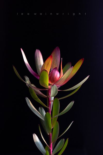 leucadendron on black