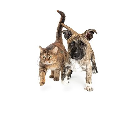 Cat and Dog Walking Forward Together on White