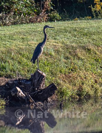 Blue_heron_RC_pond_reflection_Date_(September_20_2020Month_DD_YYYY)1_1000_sec_at_f_9.0_NAT_WHITE