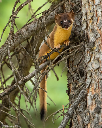 A Long-Tailed Weasel Sitting in a Tree