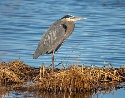 Great Blue Heron Standing on the Shore