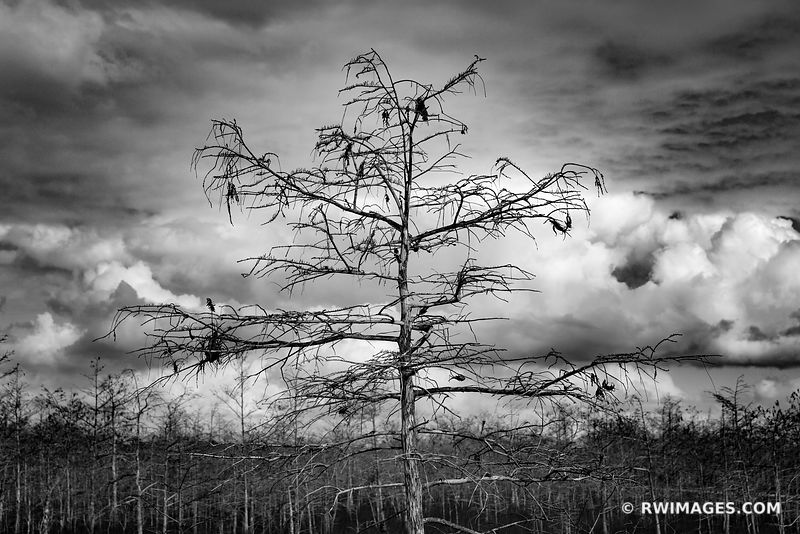 SKELETON FOREST CYPRESS TREES EVERGLADES FLORIDA BLACK AND WHITE