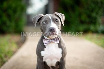 Blue pitbull puppy wearing a bowtie