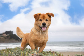 Happy Short-legged Dog at Beach