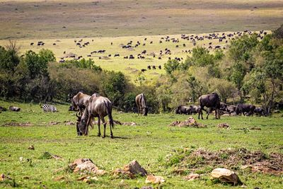 Large Herd of Migrating Wildebeest Grazing