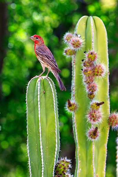 House Finch on Blooming Cactus