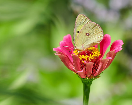 Clouded-Sulphur-5372-Full