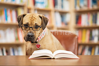 Dog_close_up_in_library_with_book_and_glasses