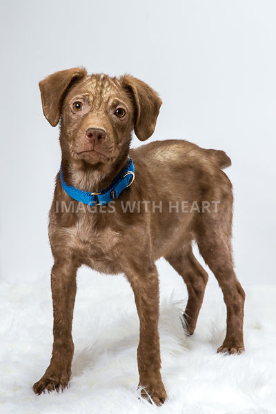 Brown puppy with mange on white background