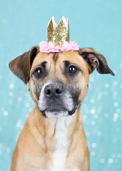 Brown dog wearing crown on blue background