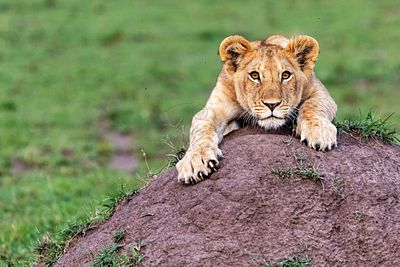 Cute Lion Cub Hanging Onto Mound