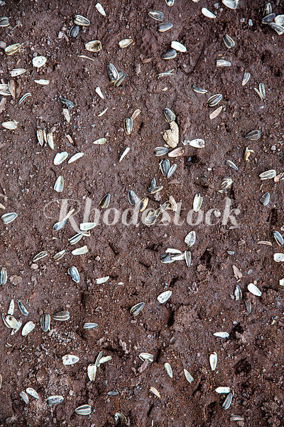 Sunflower Seed Shells Embedded In Dirt