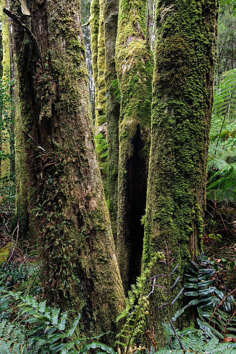 Forest Scene in the Franklin Gordon Wild Rivers National Park