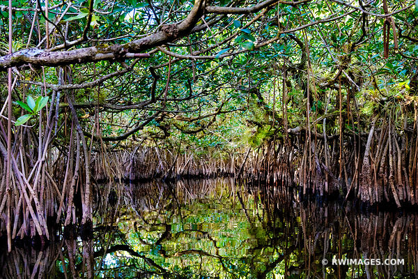TURNER RIVER MANGROVE TUNNELS CANOE RIVER TRAIL BIG CYPRESS NATIONAL PRESERVE EVERGLADES FLORIDA