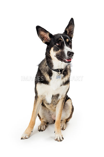 Attentive mixed breed shepherd dog sitting isolated