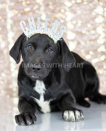 Black dog with Cheers Headband and Sparkle Background