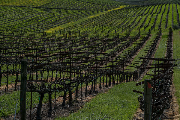 Rolling hills of dormant vines in Carneros region of Napa Valley