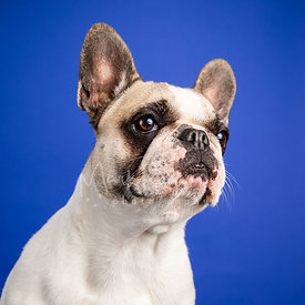 Studio Photo French Bulldog Looking Right on Blue Background